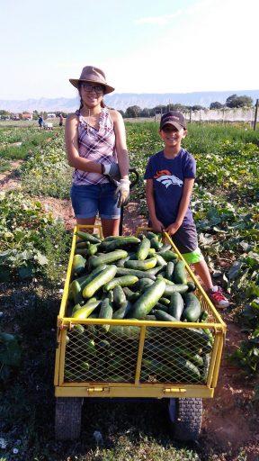 Dedicated volunteers harvesting cucumbers for food bank.